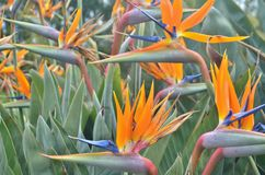 Bird of paradise flowers. Royalty Free Stock Photo
