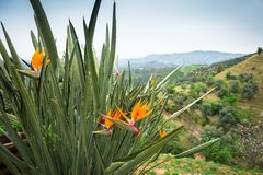 Bird of paradise flowers on Crete. Orchid strelizia - Bird of paradise flowers on Crete, Greece Stock Photography
