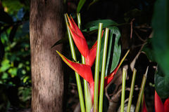 Bird of paradise flowers. In a garden Royalty Free Stock Photo