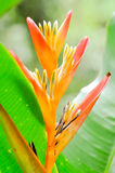 Bird of paradise. Flowers in the garden Royalty Free Stock Images