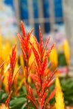 Bird of Paradise Flowers Stock Photography