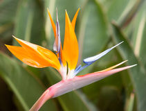 Bird of paradise flowers (Strelitzia) Stock Images