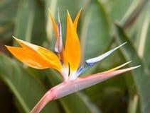 Bird of paradise flowers (Strelitzia) Stock Images