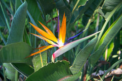 Bird of paradise flowers (Strelitzia) Royalty Free Stock Images