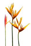 Bird of Paradise flowers with white background Royalty Free Stock Photos
