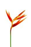 Bird of Paradise flowers on white background Royalty Free Stock Images