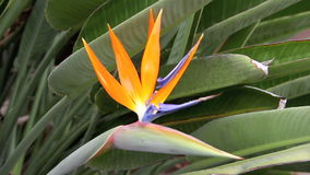 Bird Of Paradise. Hand comes in and holds a tropical Bird Of Paradise flower stock video