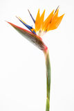 Bird of paradise II Stock Photo