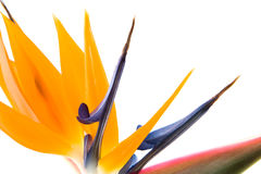 Bird of paradise III Royalty Free Stock Photography