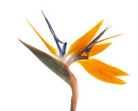 Bird of paradise isolated Royalty Free Stock Image
