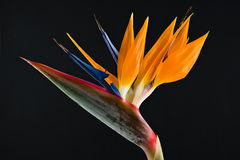 Bird of paradise IV Royalty Free Stock Photo