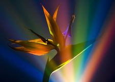 Bird of Paradise Lily Royalty Free Stock Photography
