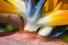 Bird of Paradise macro Stock Image