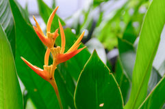 Bird of Paradise. An open Bird of Paradise flower in full bloom Stock Images