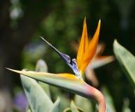 Bird of paradise Stock Photos