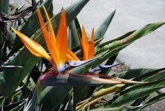Bird of paradise. Plant Royalty Free Stock Photos