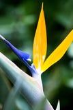 Bird of paradise plant Stock Photography