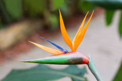 Bird of Paradise Plant Royalty Free Stock Photos