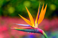Bird of paradise after rain Stock Images