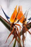 Bird of Paradise and Reflection Stock Image