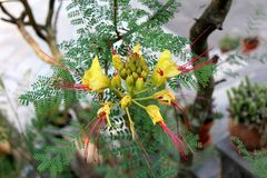 Bird of paradise shrub or Erythrostemon gilliesii flowering plant with flower heads composed of bright yellow petals with red stam. Bird of paradise shrub or royalty free stock photo