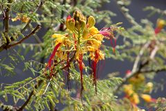 Bird of paradise shrub or Erythrostemon gilliesii flowering plant with flower heads composed of partially dried bright yellow peta. Bird of paradise shrub or stock images