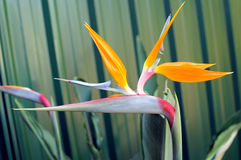 Bird of Paradise or South African Crane Flower, bo Stock Photo