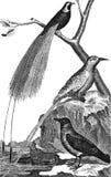 Bird of paradise. Straw. Hooded Crow Royalty Free Stock Photos