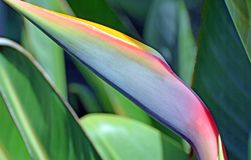 Bird of Paradise (Strelitzia) flower bud. Image shows a colorful bud of Bird of Paradise (Strelitzia) flower. Strelitzia is a genus of five royalty free stock image
