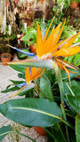 Bird of paradise, strelitzia flower Royalty Free Stock Photography