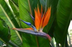 Bird of Paradise. Strelitzia flower plant exotic nature gardens tropical royalty free stock photos
