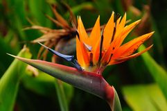 Bird of Paradise (Strelitzia Reginae). The Bird of Paradise is also called Strelitzia or Crane Flower Royalty Free Stock Photos