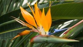 Bird of paradise, Strelitzia reginae, botanic. Bird of paradise, also known as strelitzia or crane flower is a plant of Strelitziaceae family, zingiberales order Stock Image