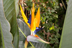 Bird of Paradise Strelitzia reginae Royalty Free Stock Image