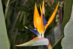 Bird of Paradise (Strelitzia reginae) Royalty Free Stock Photo