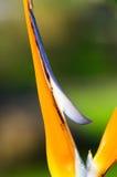 Bird of Paradise. Strelitzia reginae exotic tropical flower Stock Photography