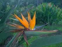 Bird of paradise  Strelitzia reginae. Flower in a Singaporean garden Royalty Free Stock Photography