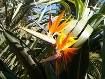 Bird of paradise. Strelitzia or bird of paradise, scientific name Strelitzia reginae, is a herbaceous, perennial rhizomatous plant Stock Image