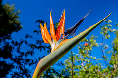 Bird of Paradise in the sun Stock Image