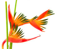 Bird of paradise, a tropical flower, isolated Stock Images