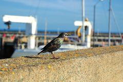 Bird on the parapet Stock Images