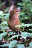 Rusty naped pitta. Birdphotography at Thai nation park stock photos