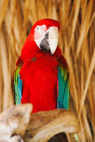 Bird. Colorful parrot sitting on a wooden pole Stock Photos