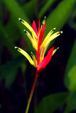 Bird of parsdise. The birds of paradise flower with black background Stock Image