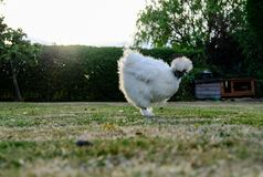 Isolated Silkie Chicken seen on a private lawn in late summertime. The bird, part of a domestic flock is free to roam the garden. The background shows a rabbit Stock Photography