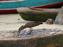 Bird peck fish lying on the counter. Royalty Free Stock Images