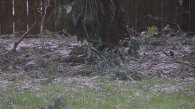 Bird pecking the ground. In light snow stock footage