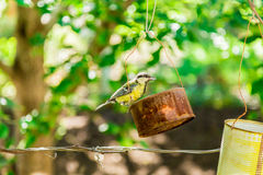 The bird pecks seeds from the feeders. Feeder out of a tin can. Titmouse stock photography