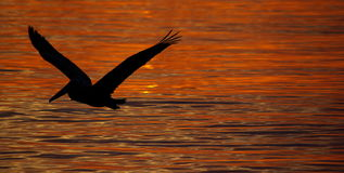 Bird, Pelican Stock Photo