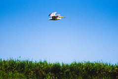 Bird pelican above water with plants Royalty Free Stock Photo